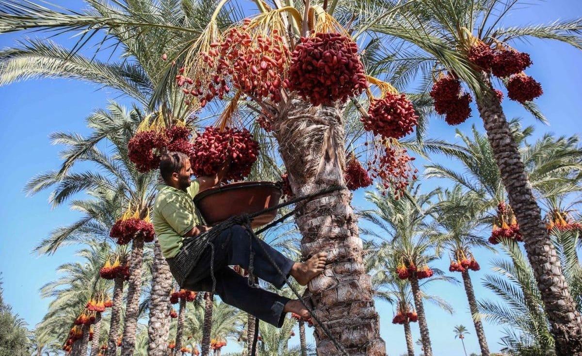 غزة تجني ثمار البلح بالحب