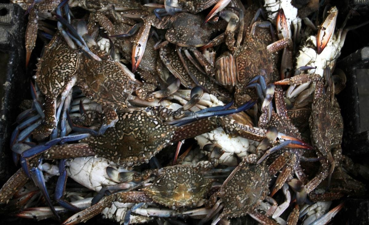 سرطانات البحر.. مصدر رزق للصيادين في غزة