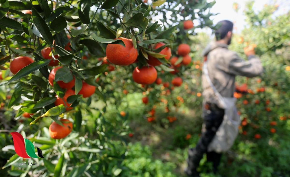 موسم جني ثمار الحمضيات يبدأ في غزة