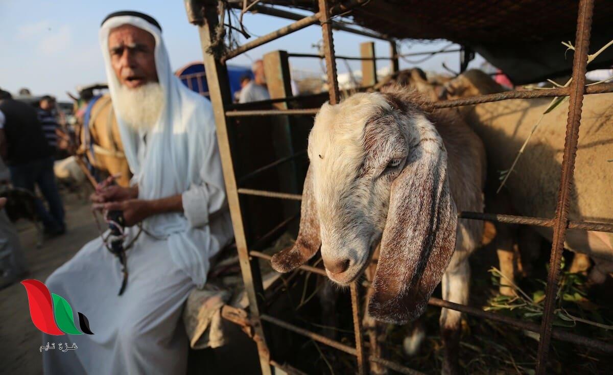 """""""الزراعة"""" في غزة تعلن عن توقعاتها لموسم الأضحية هذا العام"""