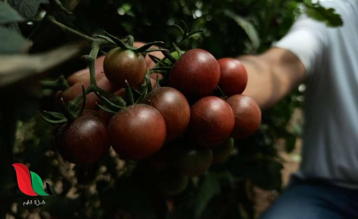 لأول مرة.. بيولوجي نباتات ينجح بزراعة زراعة طماطم سوداء في غزة